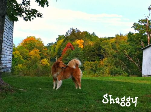 Shaggy twcq