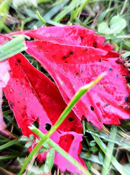 Red leaves twcq